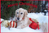 Sunny 51/52 (Lianne (calobs)) Tags: 52 weks for dogs golden retriever merry christmas
