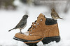 Let it Snow (dshoning) Tags: snow boot birds junco finch holidays december