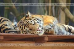 Mrrr (ficktionphotography) Tags: sumatrantiger tiger bigcat sleeping cute tarongazoo sydney australia lazy