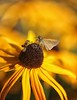 (DJ Fortune) Tags: moth canon5dmarkiii bug bugs moths flower flowers garden gardens plant plants blackeyedsusan macro insects