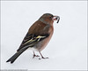 Male chaffinch (kimbenson45) Tags: animal bird brown chaffinch closeup differentialfocus eating male nature outdoors pink seed shallowdepthoffield snow white wildlife winter wintry
