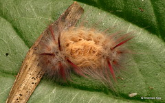 Stinging Flannel Moth Caterpillar, Megalopygidae (Ecuador Megadiverso) Tags: amazon andreaskay caterpillar ecuador hairy megalopygidae rainforest stingingflannelmothcaterpillar