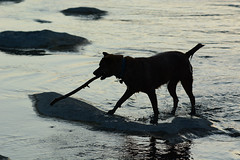 Tigger Silhouetted 1 (Bob Hawley) Tags: asia taiwan kaohsiung nanzixianriver qishanriver jiaxiandistrict nikond7100 nikkor35135mmf3545lens dogs taiwantugou pets playing sticks animals rocks water silhouette evening