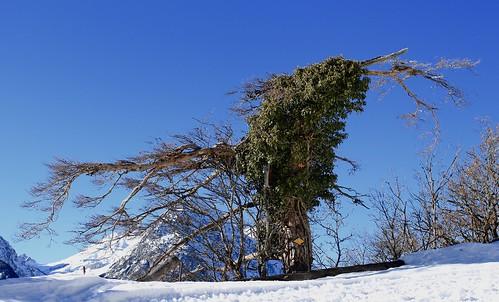 l'arbre fou