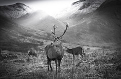 Glen Etive - in explore (ela dzimitko) Tags: wildlife deer animal blackandwhite blackwhite light glenetive etive autumn landscape outdoor mountains beams eladzimitko