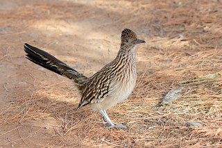 Greater Roadrunner (4906)