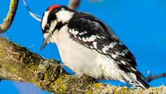 Woodpecker (PravinDwiwedi) Tags: birds naturephotography naturalbeauty woodpecker canon5dmark3 tamron 150600 g2 ilovephily birdphotography birdlovers philadelphia philytourism visitpa johnheinznwr