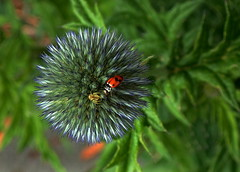 A SPIKY MEETING PLACE....... (Lani Elliott) Tags: nature naturephotography lanielliott spider crabspider ladybird bug insect flower plant spiky blue garden homegarden echinops globethistle excellent beautiful fantastic wow superb