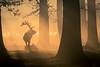 Looking away (stephen.darlington) Tags: silhouette sunrise stag deer wildlife autumn reddeer antlers animal planet
