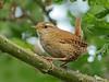 Wren (Padski1945) Tags: bird birds birdsofbritain gardenbirds wren naturalhistory