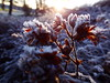 Winter Flowers (evisdotter) Tags: winterflowers morning light macro bokeh sooc nature frost sun sunny
