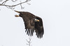 Bald Eagle taking off (mayekarulhas) Tags: darlington maryland unitedstates us bald eaglebald canon500mm canon1dxmark2 canon14converter conovingo bird avian