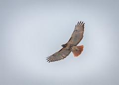 A New Year's Hawk. (PebblePicJay) Tags: bird hawk nature ontario canada canon xsi park winter fly cold birdofprey wings animal
