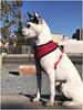 7816- OTTO ALERTA (--MARCO POLO--) Tags: perros animales mascotas