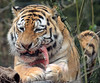amurtiger Ilya Amersfoort BB2A1595 (j.a.kok) Tags: tijger tiger amurtiger amersfoort amoertijger pantheratigrisaltaica animal kat cat mammal zoogdier dier asia azie predator ilya