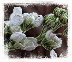 The Falling Petal (Audrey A Jackson) Tags: canon60d flower nature petals white smartphotoeditor