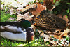 IMG_4630_Sleeping (Ajax_pt/Zecaetano) Tags: ducks patos