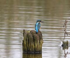 Kingfisher (Steve (Hooky) Waddingham) Tags: stevenwaddinghamphotography bird british blue wild wildlife water countryside nature fish catch pond river pool
