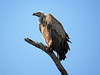 SouthAfrica2-Timbavati-160_2017-09-29 (sabine.haecker) Tags: südafrika safari southafrica timbavati krüger vulture geier