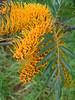 Grevillea robusta leaf and flowers (J. B. Friday) Tags: grevillea grevillearobusta proteaceae puuwaawaa