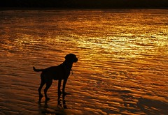 Puppy Silhouette..x (Lisa@Lethen) Tags: sky dog labrador puppy sand beach sunset colours golden sea winter pet nature