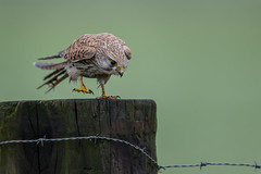R17_0851 (ronald groenendijk) Tags: cronaldgroenendijk 2017 falcotinnunculus rgflickrrg animal bird birds birdsofprey groenendijk holland kestrel nature natuur natuurfotografie netherlands outdoor ronaldgroenendijk roofvogels torenvalk vogel vogels wildlife