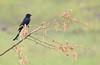 Black drongo (praveen.ap) Tags: black drongo blackdrongo ousteri osudu lake pondicherry