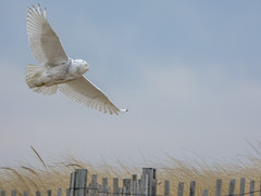 Freedom (AnthonyVanSchoor) Tags: snowy owl prime hook nwr delaware fowlers beach nikond7100 tamron150600mmtelephotolens irruption 2017