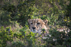A surreptitious glance (Coisroux) Tags: cheetah surreptitious hidden sunlight bushveld closeup clandestine d5500 nikond kwandwe safari southafrica stare acinonyxjubatus obscured portrait wildlifephotography 7dwf