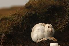 "Happy New Year ! ""Explored"" (Derbyshire Harrier) Tags: mountainhare peakdistrict peakpark wintercoat snow peat derbyshire darkpeak winter december newyearseve 2017 moorland explore explored lepustimidus"