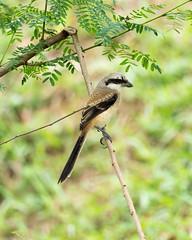 20171209-EM121380 (shutterblades) Tags: birds longtailedshrike olympusem1mkii olympusmzuiko300mmf4pro14tc seletaraerospacepark seletarwestlink