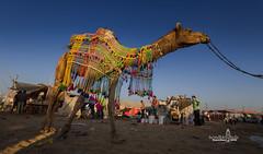 camel fair, rajasthan (Albert Photo) Tags: camelfair india cart carriage rajasthan asia sky animal giraffe landscape people