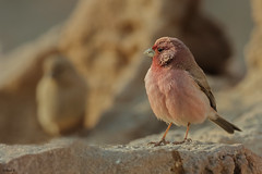 Sinai Rosefinch (Dave 5533) Tags: sinairosefinch outdoor wild nature desert bird songbird birwatching wildlife naturephotography animal birdsinisrael canoneos1dx canonef300mmf28 birdphotography animalplanet inexplore
