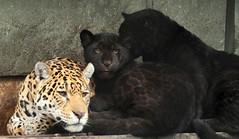 jaguar artis BB2A2665 (j.a.kok) Tags: jaguar jaguarcub jaguarwelp blackjaguar zwartejaguar rica zuidamerika southamerica artis kat cat animal mammal zoogdier dier predator pantheraonca
