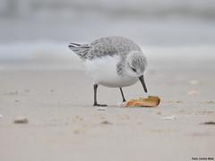 Sanderling (Corine Bliek) Tags: calidrisalba vogel vogels bird birds wildlife natuur beach strand zee sea migrant trekvogels migratory doortrekker shorebirds kustvogels strandlopers water winter