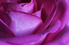 Macro on a Monday, pink rose! 🌹🌹 (LeanneHall3 :-)) Tags: pink rose rosepetal petals swirlypetals closeup closeupphotography macro macrotubes macroextensiontubes macroflowerlovers flower flowersarefabulous flowerarebeautiful flowerflowerflower canon 1300d