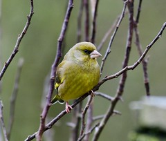 Greenfinch - Taken at Summer Leys Nature Reserve, Wollaston, Upper Nene Valley, Northants, UK (Ian J Hicks) Tags: