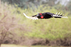 Flying Ground Hornbill (Thomas Retterath) Tags: wildlife adventure 2017 natur nature river fluss sambesi lowerzambezi sambia zambia africa afrika anabezicamp allrightsreserved thomasretterath copyrightthomasretterath bucorvusleadbeateri nashornvogel hornrabe vögel bird birds vogel animals tiere groundhornbill coth5