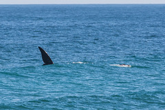 Whale (davidthegray) Tags: dehoopnaturereserve sudafrica indianocean gardenroute whale southafrica balena humpback overbergdc westerncape za