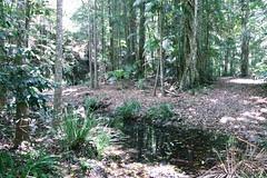Woolgoolga Creek with Lomandra spicata (Poytr) Tags: woolgoolga woolgoolgacreek subtropicalrainforest rainforest midnorthcoast creek water forest nsw australia bangalowpalm archontophoenixcunninghamiana arecaceae lomandra stranglerfig ficus ficuswatkinsiana brushbloodwood baloghia sloanea sloaneaaustralis baloghiainophylla euphorbiaceae sherwoodnaturereserve lomandraspicata wood tree plant trail lomandraceae arfp nswrfp qrfp subtropicalarfp