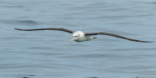 White-capped Albatross - Stewart Island - New Zealand_FJ0A7817