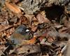 DSC_2294 Dark Eyed Junco Slate Head (futzr.fotoz) Tags: dry brown autumn leaves bark dark eyed junco slate yakima county washington bird nature
