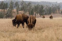 Bison (janelle.streed) Tags: americanbison bison buffalo bisonbison animal wildlife nature outdoors beautyinnature southdakota custerstatepark stateparks landscape