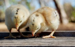 Pintos Galinha Caipira_Foto Magda Cruciol (Magda Cruciol) Tags: galinhas caipiras galinha caipira embrapa raça nativa agricultura familiar chicken farm biodiversity agriculture