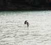 Incoming....... (Ballygrant Boy) Tags: bird captured martinique 2017