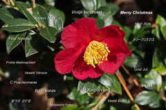 Merry Christmas 2017 (Jim Atkins Sr) Tags: flower camelliasasanquayuletide camelliaxvernalisyuletide camellia camelliasasanqua fairfieldharbour northcarolina christmas evergreen shrub