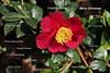 Merry Christmas 2017 (Jim Atkins Sr) Tags: flower camelliasasanquayuletide camelliaxvernalisyuletide camellia camelliasasanqua fairfieldharbour northcarolina christmas evergreen shrub