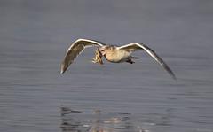 Gull with Crab - 094A3895a1c2 (Sue Coastal Observer) Tags: gull crab blackiespit surrey bc britishcolumbia canada flight