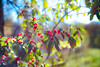 berry backlight (severalsnakes) Tags: kansas pentax promaster5017 saraspaedy shawnee shawneemissionpark berries berry honeysuckle k1 manual manualfocus