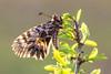 Osterluzeifalter │ Southern festoon │ Zerynthia polyxena (Bluesfreak) Tags: schmetterlinge tagfalter